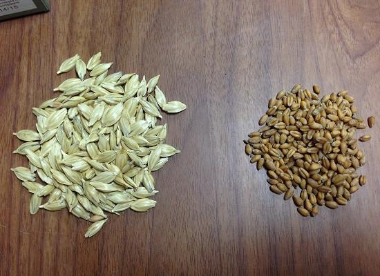 スペルト小麦と農林61号