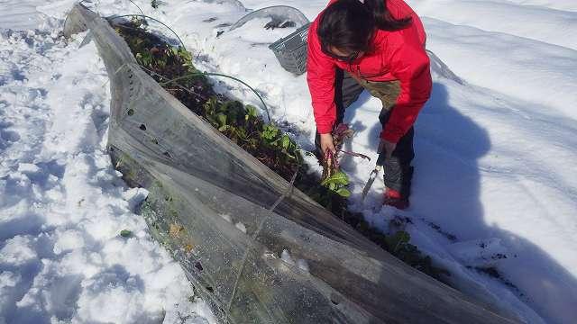 雪をどけながらの収穫作業