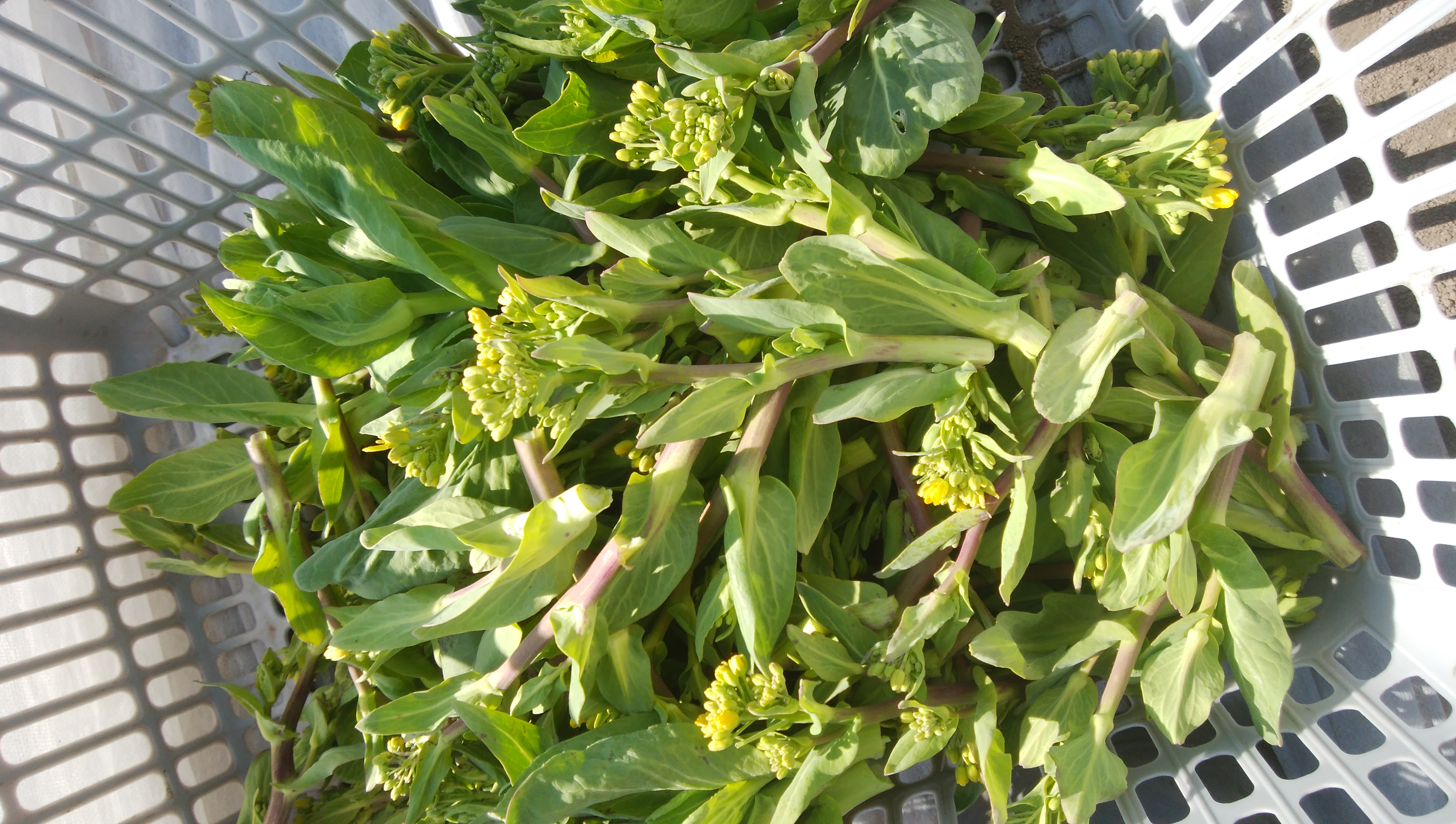チンゲン菜の菜花